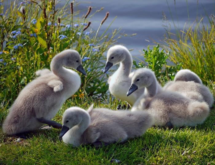 Скачать Красивые фотографии с лебедями для фона монитора.