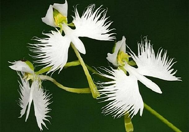 orhideya (609x426, 189Kb)