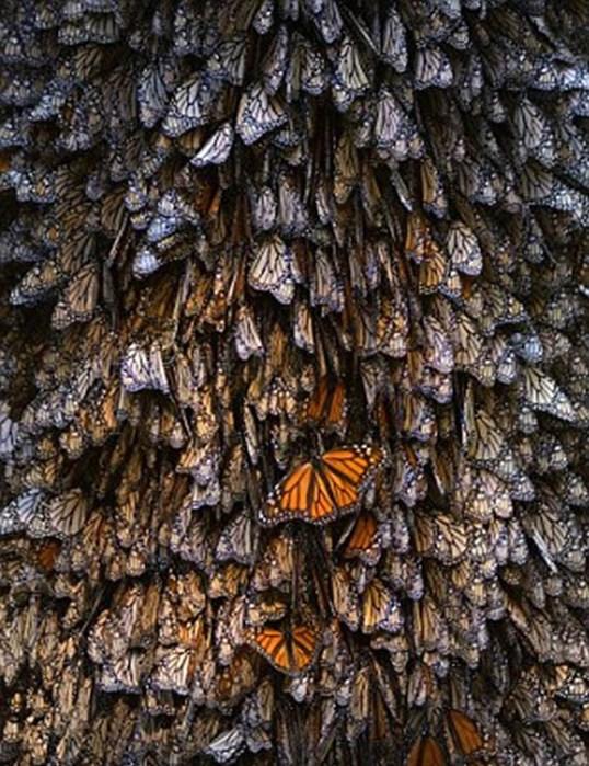 бабочка4 (538x700, 137Kb)