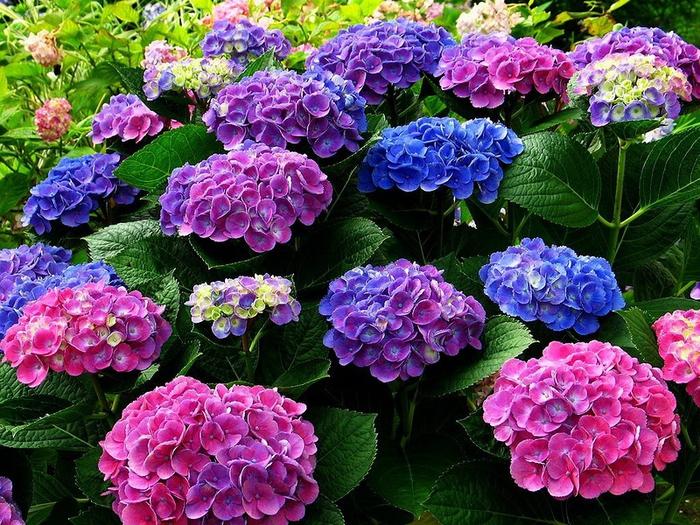Разноцветные гортензии в японском саду (700x525, 404Kb)