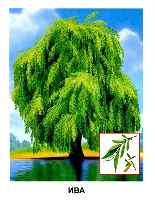 Деревья11 (530x700, 156Kb)