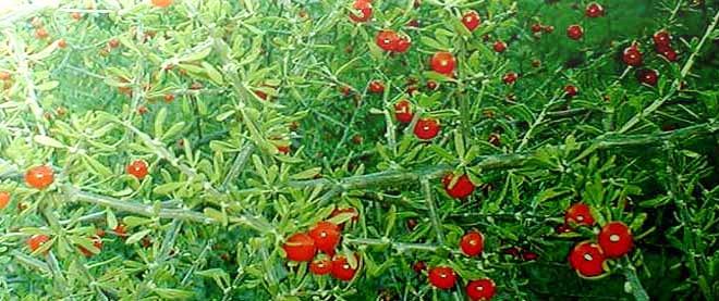 ягоды годжи дереза обыкновенная