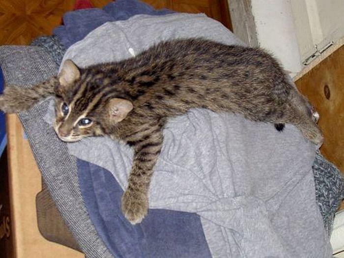 виверровая кошка или кот рыболов