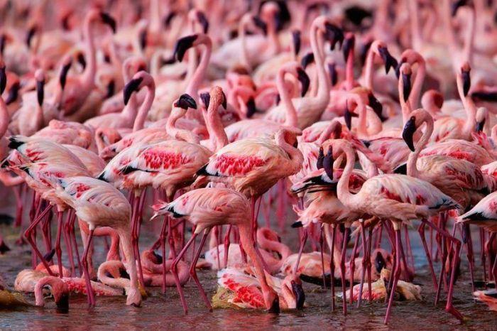flamingp (700x466, 75Kb)