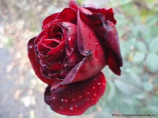 Осенние_цветы_4 (600x450, 116Kb)
