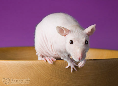 4121583_482x351_hairless_rat (482x351, 35Kb)