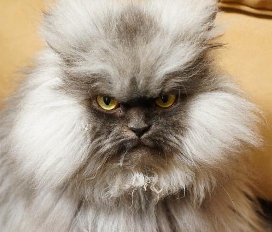 прикольные фот кошек/4171694_polkovnik_myay_foto_prikolnie_koshki_1 (549x469, 37Kb)