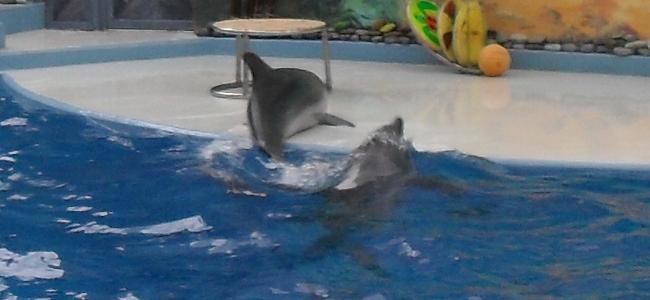 дельфины катались на брюхе по скользкой сцене (650x300, 113Kb)