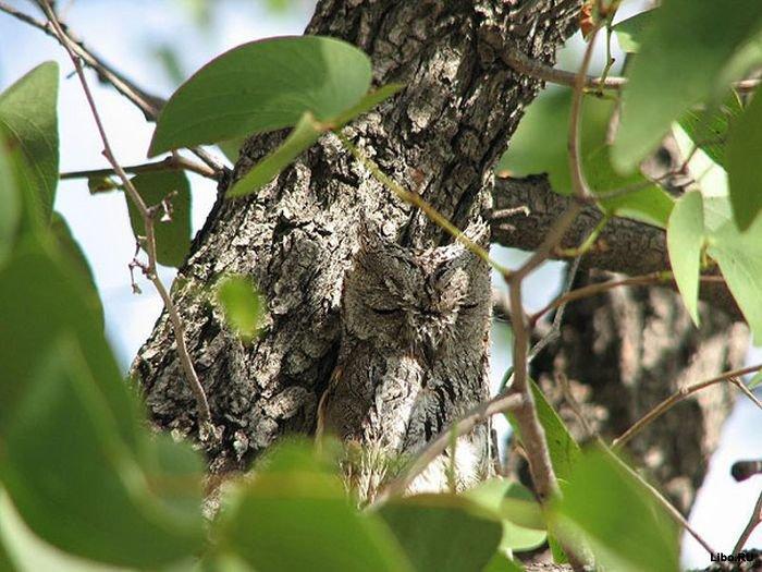 совы фото 6 (700x525, 87Kb)