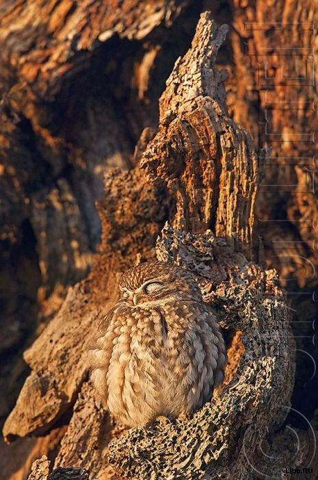 совы фото 11 (465x700, 98Kb)