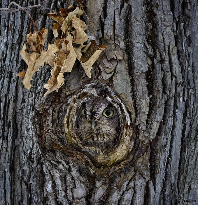 совы фото 15 (679x700, 159Kb)
