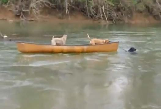 Отважный лабрадор спасает уплывающих на каноэ собак