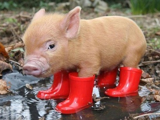 cute-pig-in-boots (536x403, 58Kb)