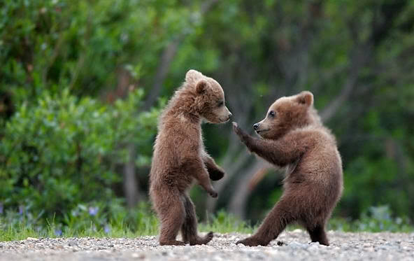 cute_bear_fight (592x373, 33Kb)