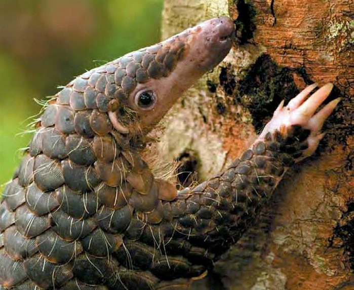 яванский ящер панголин фото 3 (700x572, 106Kb)