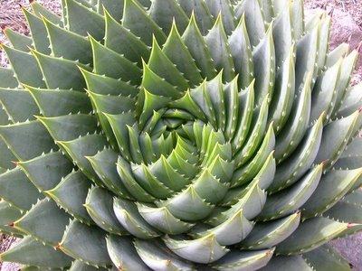 3726295_golden_spiral_cactus (400x300, 39Kb)