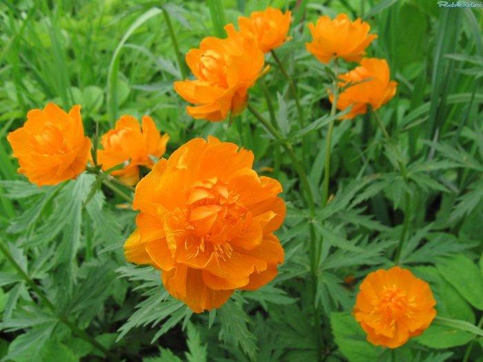 Жарки огоньки цветы