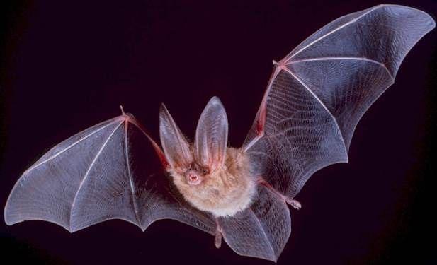 1352061811_Bat (617x375, 25Kb)