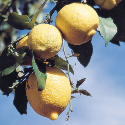 photo-08-limon-rutovye (403x403, 95Kb)