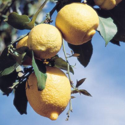photo-08-limon-rutovye (403x403, 95Kb)