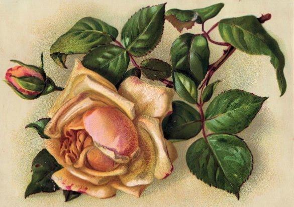 rose1 (585x413, 78Kb)