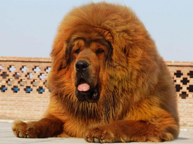 Самая большая собака в мире фото Зевс и его коллеги
