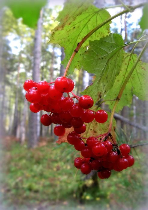 ягоды3 (493x700, 105Kb)