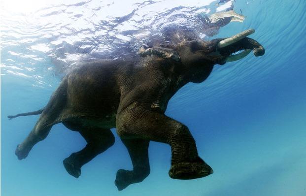 плавающий слон (621x398, 59Kb)