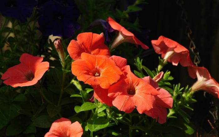 Цветы петунии картинки 3