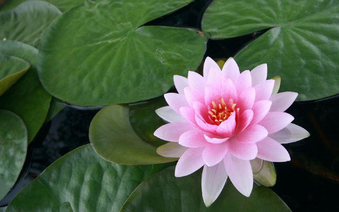Лотос цветок фото картинки 6