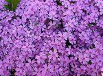 Превью violet4 (550x408, 87Kb)