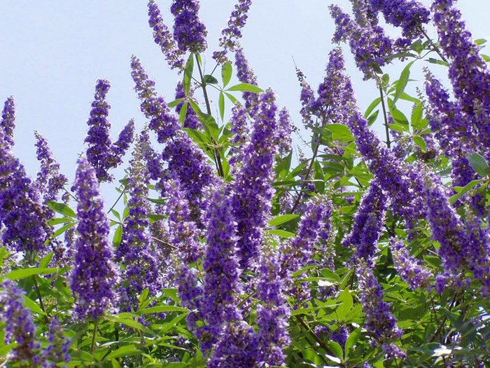 28-thumb-shoal-creek-vitex-flowerjpg-aae2be7a484f4456 (700x525, 140Kb)
