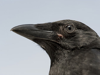 Ворона (340x255, 19Kb)