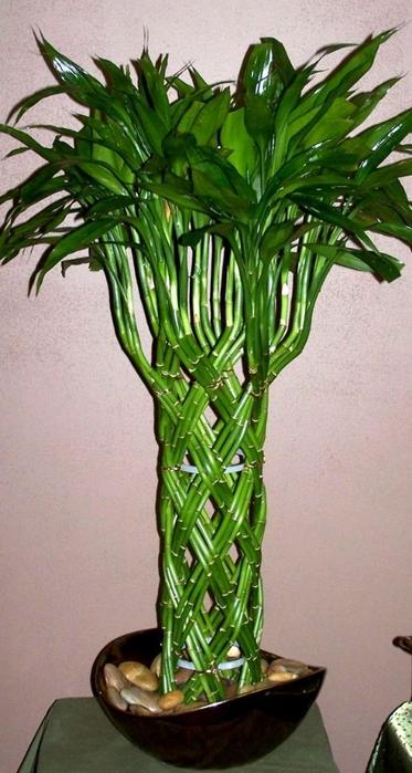 arvore de bambu da sorte jardinagem (373x700, 215Kb)