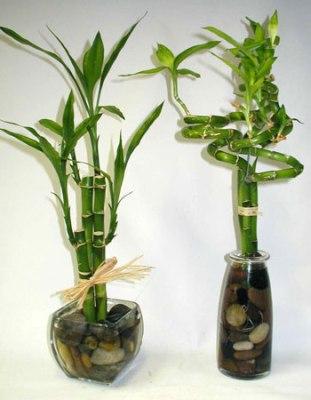 arvore de bambu da sorte jardinagem (311x400, 26Kb)