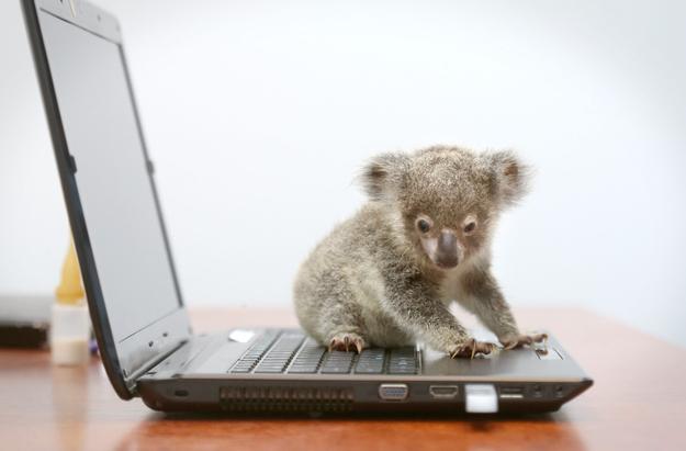 детеных коалы фото 1 (625x411, 105Kb)