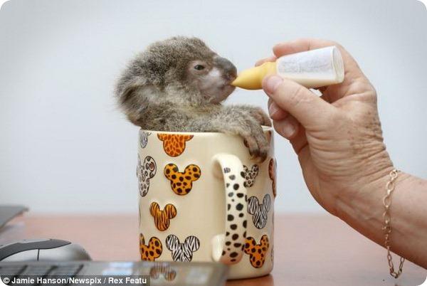 детеных коалы фото 3 (600x402, 56Kb)