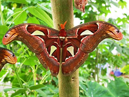 Atlas_moth (500x375, 60Kb)
