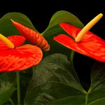 anthurium1 (150x150, 6Kb)