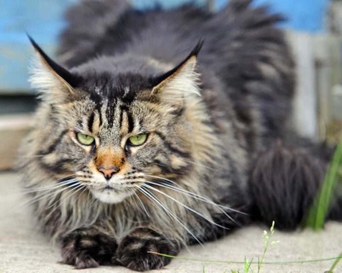 Мейкун кошка фото купить 6