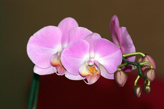 3470549_orhidei (700x466, 63Kb)