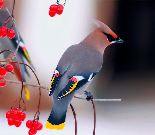 pticy_zimoy_foto_34_glavnaja (540x469, 46Kb)