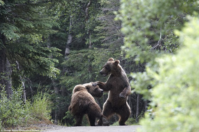 медведи гризли фото (700x466, 109Kb)