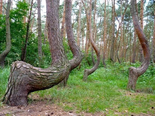 Таинственный изогнутый лес в Польше