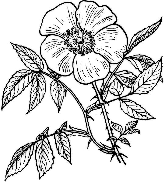Картинки черно белые цветы раскраски 1