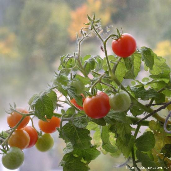 posadka_pomidor_v_otkritii_grynt (550x550, 124Kb)