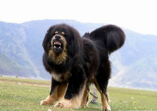 tibetan-mastiff (550x390, 37Kb)