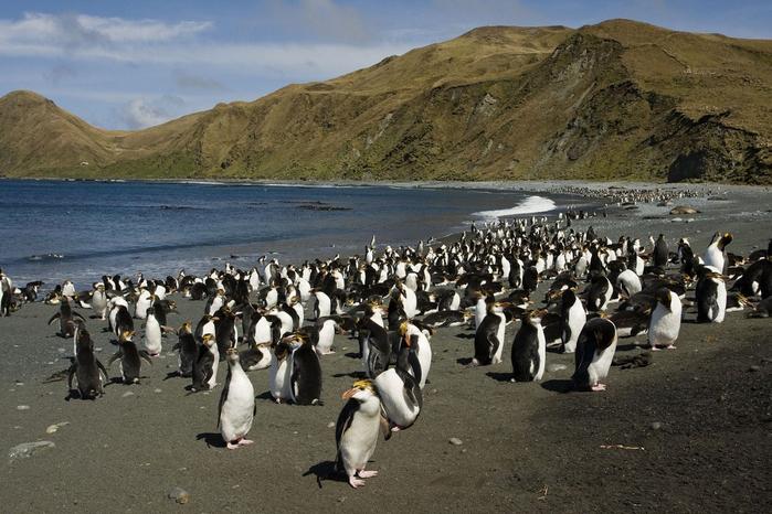 Австралийский остров Маккуори пингвины фото 1 (700x466, 369Kb)
