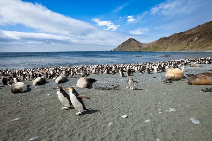 Австралийский остров Маккуори пингвины фото 3 (700x466, 379Kb)