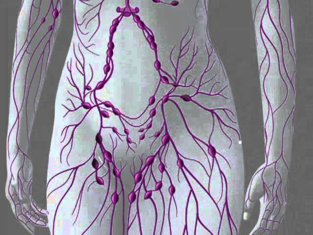 лимфатическая система человека (640x480, 47Kb)